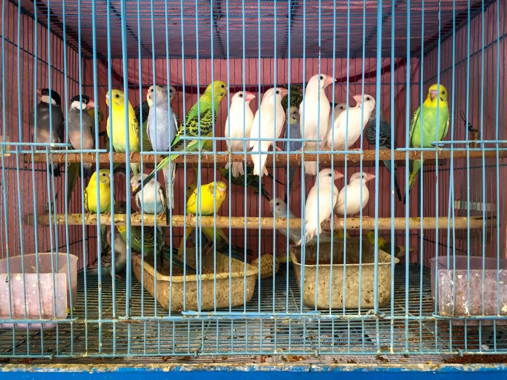 hanoi market birds for sale